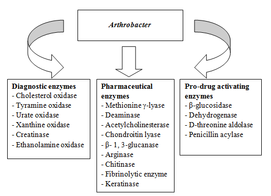 View of ARTHROBACTER AS BIOFACTORY OF THERAPEUTIC ENZYMES