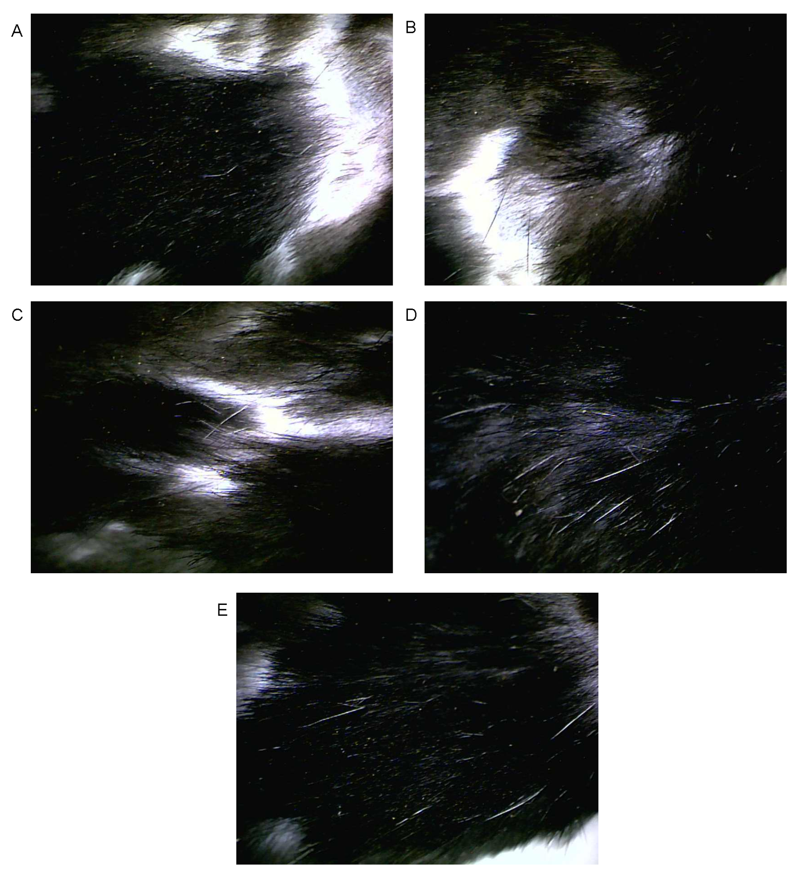 View of HAIR GROWTH PROMOTING ACTIVITY OF CARTHAMUS
